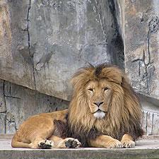 voedsel van de leeuw